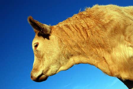 cow Stock Photo - 2460374