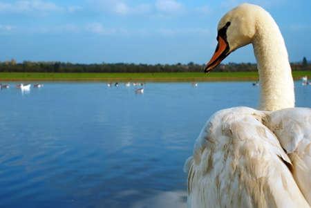 mute swan: swan