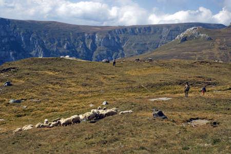 shepperd: Sheeps, Busteni, Romania