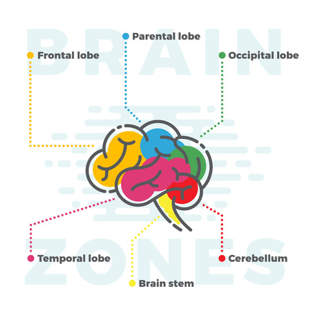 zones: Brain Zones Scheme. Colorful Infographics of Different Lobes in Line and Flat Style. Isolated.
