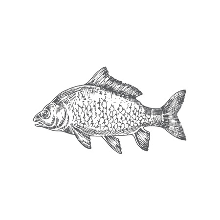 Mirror Carp Hand Drawn Vector Illustration. Abstract Carp Fish Sketch. Engraving Style Drawing. Isolated.