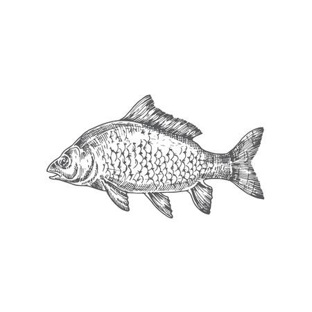 Spiegelkarpfen Hand gezeichnete Vektor-Illustration. Abstrakte Karpfen-Fisch-Skizze. Gravur Stil Zeichnung. Isoliert.
