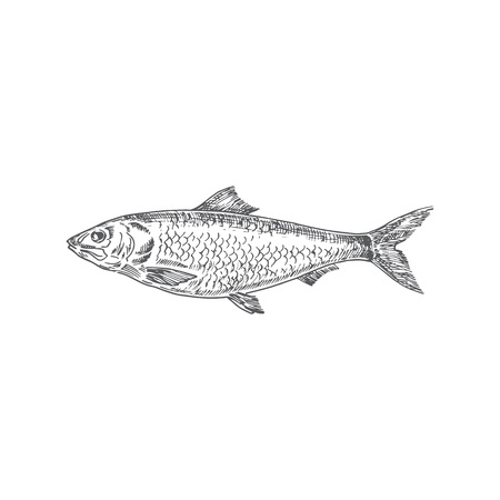 Herring Hand Drawn Vector Illustration. Abstract Fish Sketch. Engraving Style Drawing. Isolated.