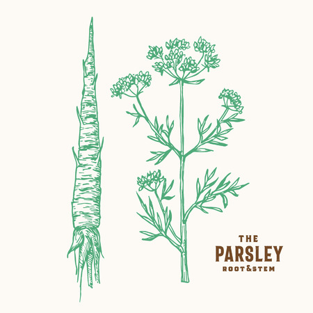 Parsley Root and Stem Vector Sign, Symbol or Illustration. Hand Drawn Green Parsley Root and Branch with Premium Vintage Typography. Vetores