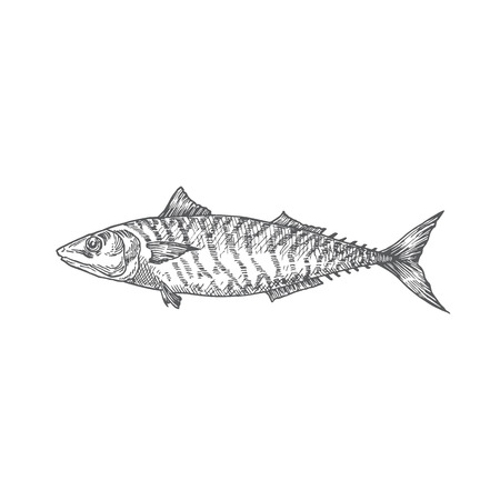 Mackerel Hand Drawn Vector Illustration. Abstract Fish Sketch. Engraving Style Drawing. Isolated.