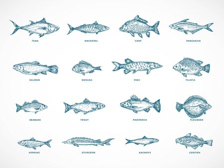 Hand Drawn Ocean or Sea and River Fish Illustration Bundle. A Collection of Salmon and Tuna or Pike and Anchovy, Herring, Trout, Dorado Sketches Silhouettes. Isolated. 일러스트