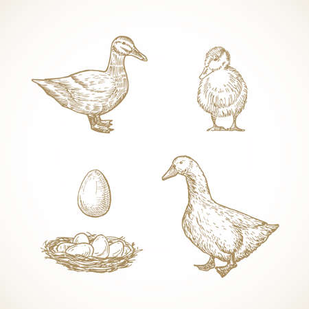 Vector Poultry Birds Sketches Set. Hand Drawn Illustrations of Duck, Duckling, Drake and Eggs in a Nest. 向量圖像