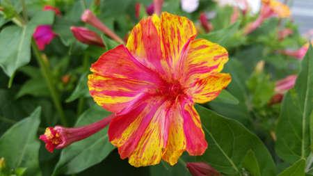 o'clock: Multi Color 4 Oclock Flower Stock Photo