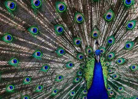 Peacock with his tail feathers on display to attract a mate.
