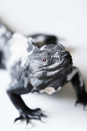Black and white spiny tailed iguana in a studio setting. photo