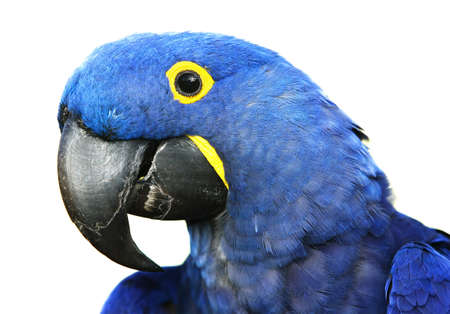 Brilliant blue hyacinth macaw with a yellow ring around its eye. Stock Photo - 1829459