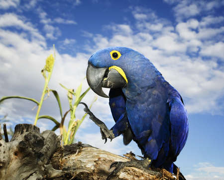 Brilliant blue hyacinth macaw with a yellow ring around its eye.