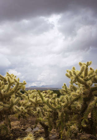 cholla: Cholla cacti framing mountains in the background on a stormy day.