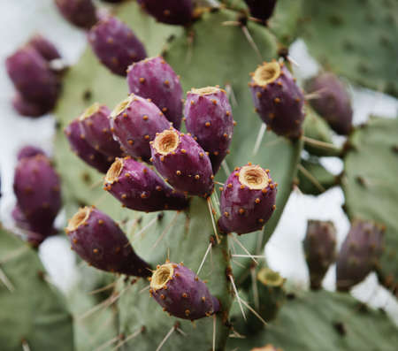 Fuscia colored fruit on a prickly pear cactus. Stock Photo