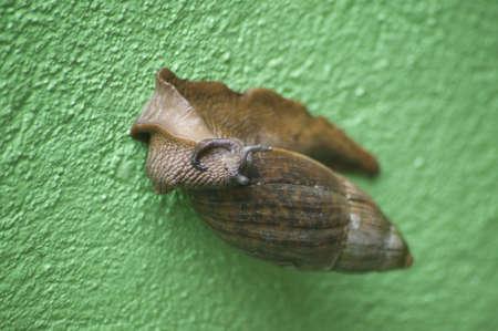 녹색 벽에 코스타리카에서 수목 달팽이.