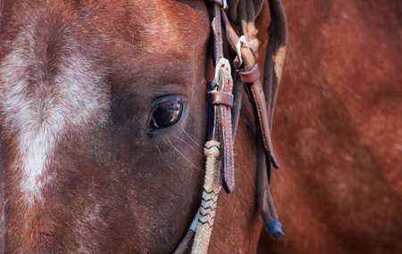 Close up eye of horse wearing leather bridle