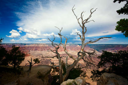 Dead Tree at Edge of the Grand Canyon photo