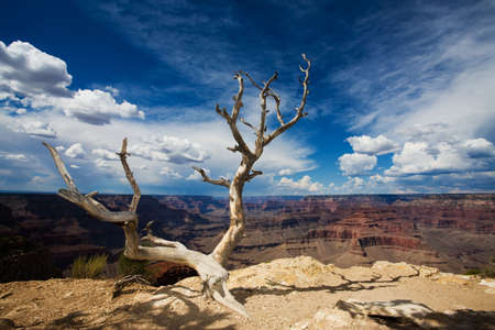 cliff edge: Dead Tree at Edge of the Grand Canyon