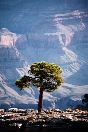 Backlit pine tree along a ridge in the Grand Canyon