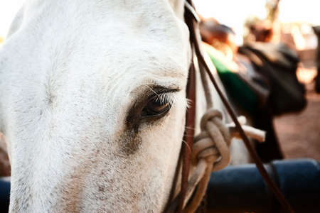 Closeup on the eye of a pack mule near the Grand Canyon
