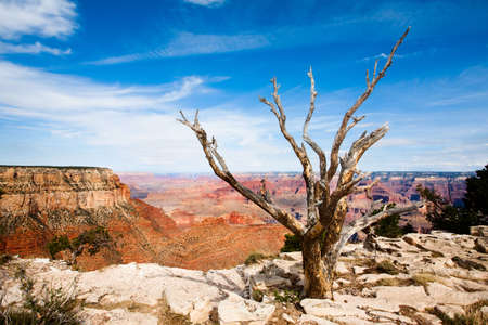 Dead tree near edge of the Grand canyon photo
