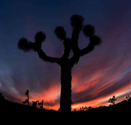 Joshua Tree Silhouette in California National Park at Sunset photo
