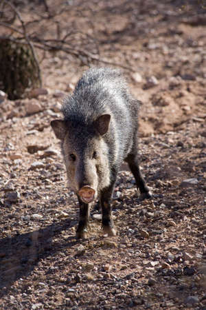 omnivore: Javelina or collared peccary in the Sonoran Desert