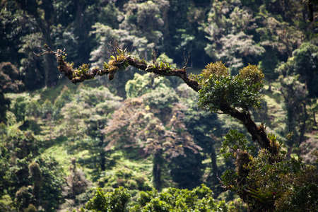 Epiphytes and bromeliads on tree branch in Costa Rica photo
