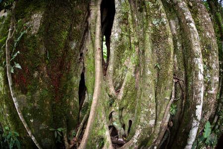 strangler: Strangler Fig Tree in Costa Rican cloud forest Stock Photo