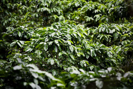 coffee coffee plant: Many coffee plants on plantation in Costa Rica