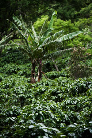 Many coffee plants on plantation in Costa Rica Stock Photo - 7622861