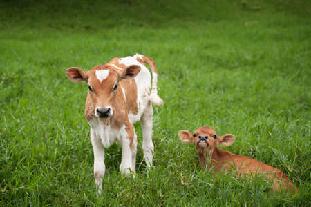 young cow: Costa Rican calves on a rustic dairy farm Stock Photo