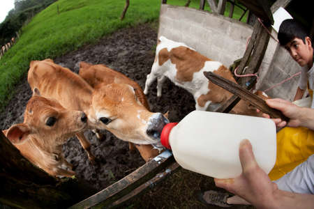 costa rican: Feeding hungry calves on Costa Rican dairy farm Stock Photo