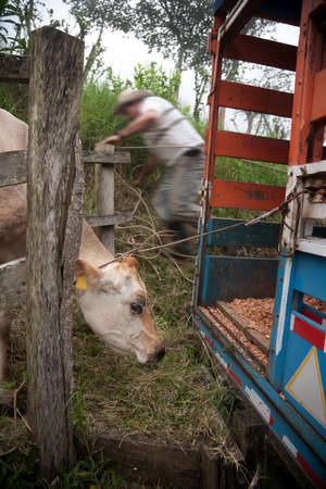 Costa Rican ranch hand putting cow onto panel truck