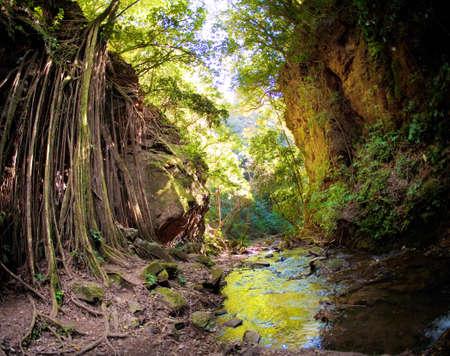 strangler: Strangler fig vines hanging down over rock face near a forest stream