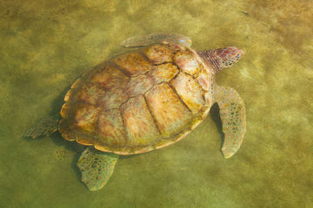Large Carribean Sea Turtle near beach below water surface photo