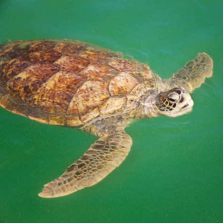 carribean: Large Carribean Sea Turtle at the surface of the ocean Stock Photo