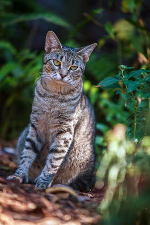 hemingway: Six Toed Cat at Hemingway Home in Key West