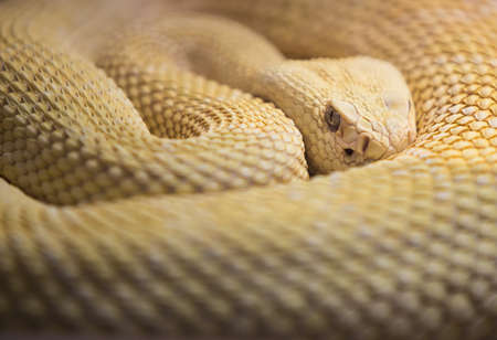 serpiente de cascabel: Watchhful Albino Western Diaomnd Volver Rattlesnake