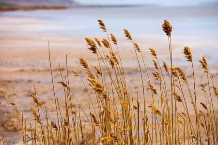 golu: Reeds at Tuz Golu in Anatolia Turkey