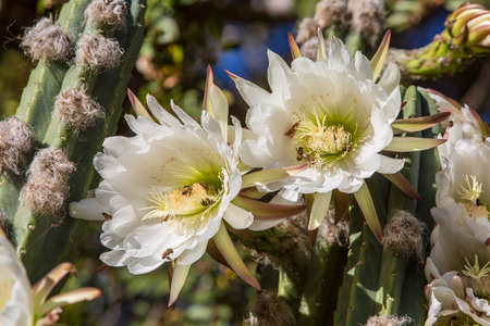 cereus: Once yearly blooms on night blooming cerius Stock Photo
