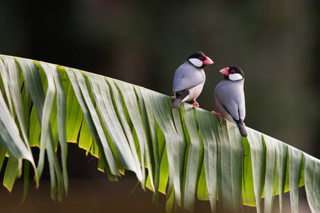 Two Tropical Java Finches on a Leaf Perch 版權商用圖片