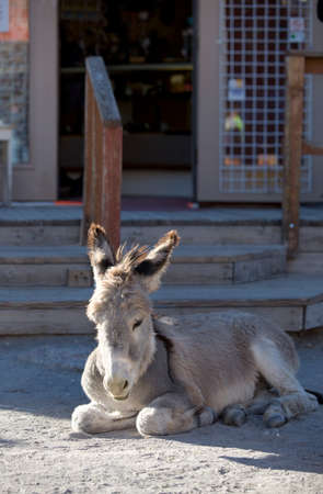 burro: Wild Baby Burro resting in front of store in Oatman Arizona USA