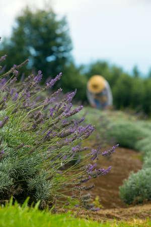 maui: Gardener harvesting lavender on Maui hillside in Hawaii
