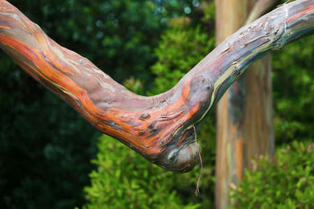 bent: Bent branch of large Eucalyptus deglupta tree on Maui Stock Photo