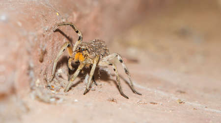 wolf spider: Baby spiders on back of mother crawling on floor