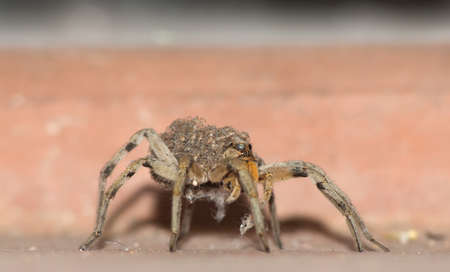hairy back: Close up of female wolf spider with babies on back