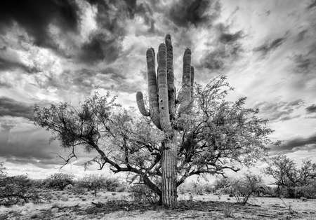 sonoran: Saguaro cactus growing close to mesquite nurse tree Stock Photo