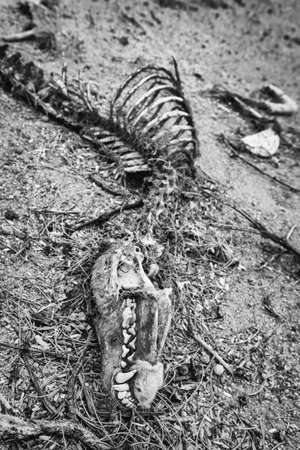 rib cage: Head and other bones of dead coyote in the desert