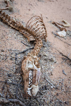 coyote: Decaying corpse of coyote in the desert